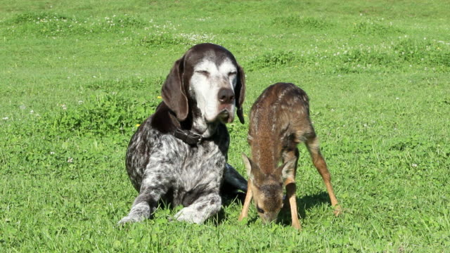 dog and fawn sitting on grass - fawn stock videos & royalty-free footage