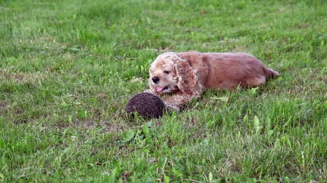 犬、ハリネズミ - 丸くなる点の映像素材/bロール