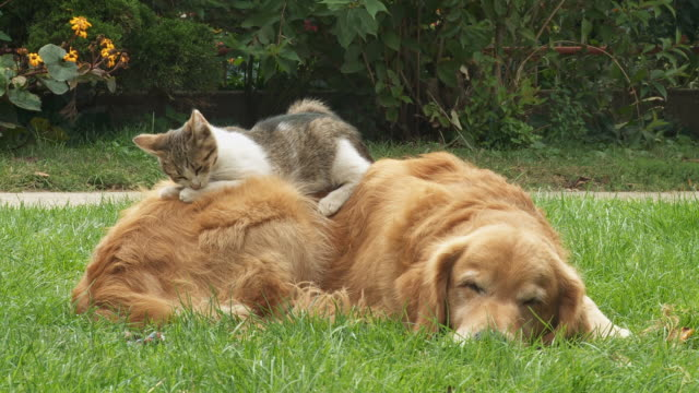 hd: dog and kitten resting on the grass - dog and cat stock videos and b-roll footage