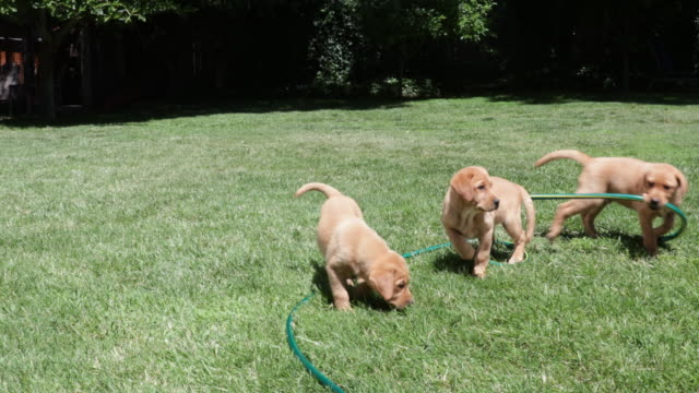 Dog and puppies playing with hose and rope