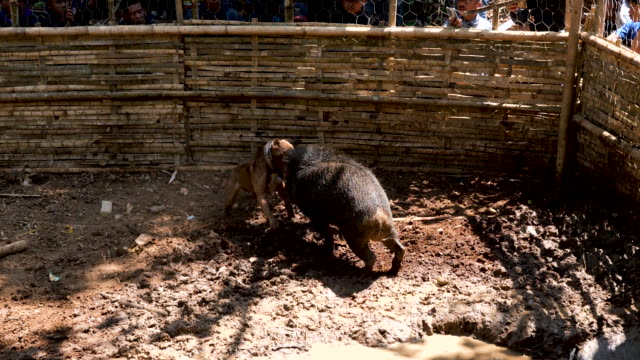 a dog and wild boar fight during a contest on august 18 2019 in majalengka west java province indonesia in the remote parts of indonesia's west java... - indonesia stock videos & royalty-free footage