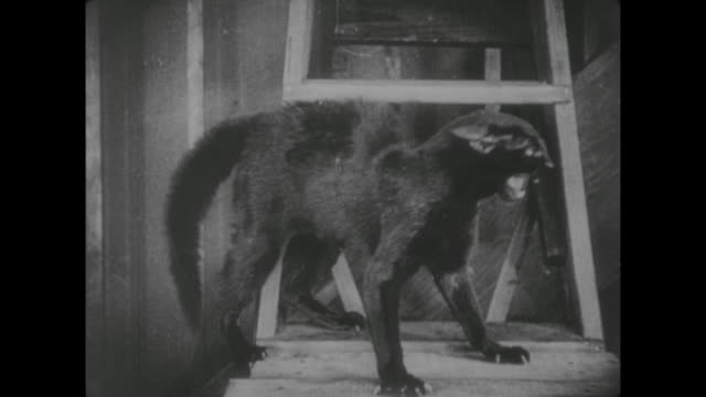 1917 dog barks at black cat with hackles raised - 黒猫点の映像素材/bロール