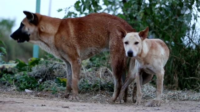 stockvideo's en b-roll-footage met hond fokken - parende dieren