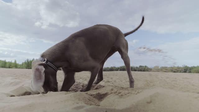 vídeos de stock, filmes e b-roll de cachorro perto do lago, cavando um buraco na areia. passeio de verão - sujo
