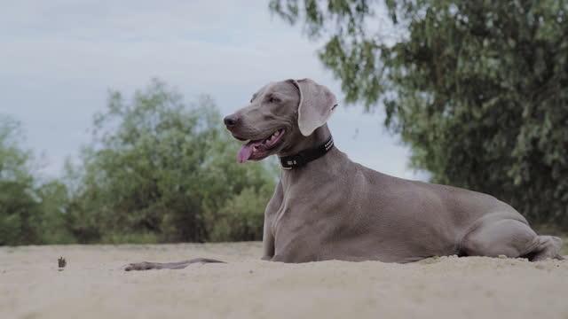 hund am see, ein loch in sand graben. sommerspaziergang - seeufer stock-videos und b-roll-filmmaterial