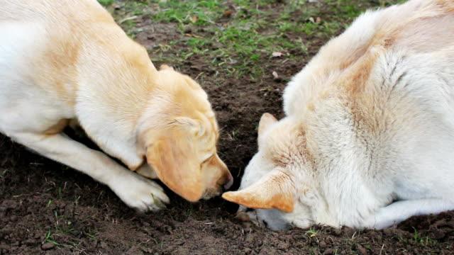 vídeos de stock, filmes e b-roll de cão cuidador - buraco