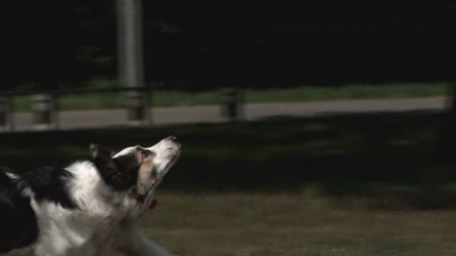 A dog catches a flying disk in slow motion.
