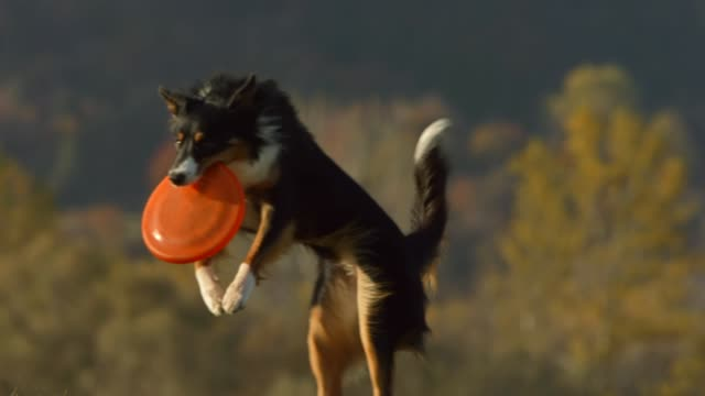 dog catching a disk - stunt stock videos & royalty-free footage