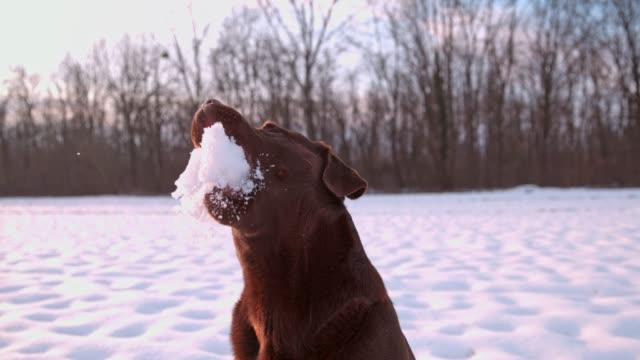 slo mo dog catching a snowball - retriever stock videos and b-roll footage
