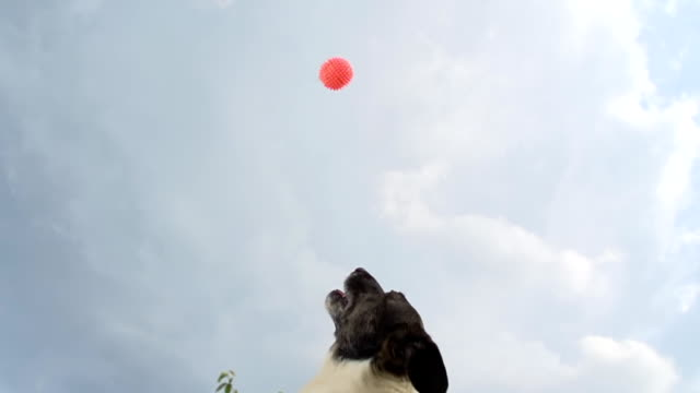 hd super slow-mo: dog catching the ball - jumping stock videos & royalty-free footage