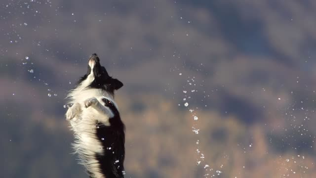 dog catching water droplets - collie stock videos & royalty-free footage