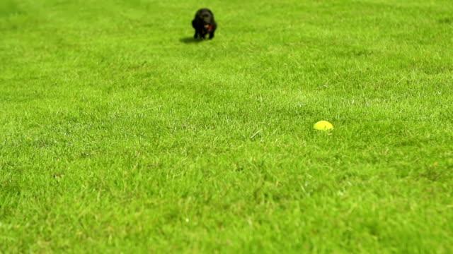 Cane Rincorrere Pallina da tennis