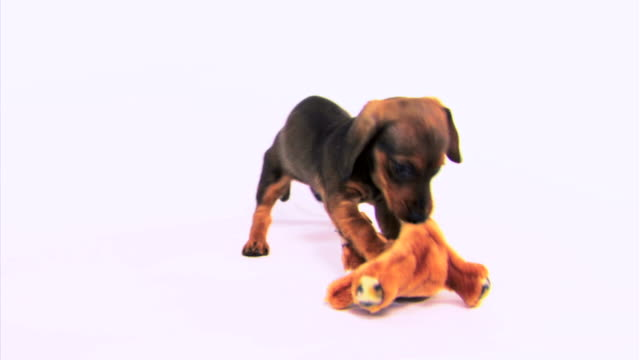 dog chewing on toy - chewing stock videos & royalty-free footage