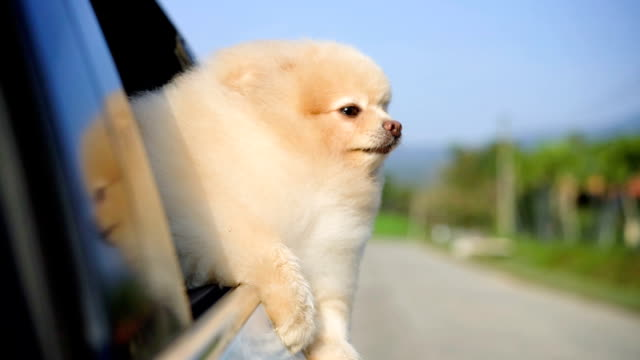 dog chilling and looking out from car window - dog hair stock videos and b-roll footage