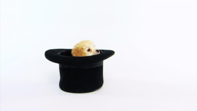 Dog climbing out of hat