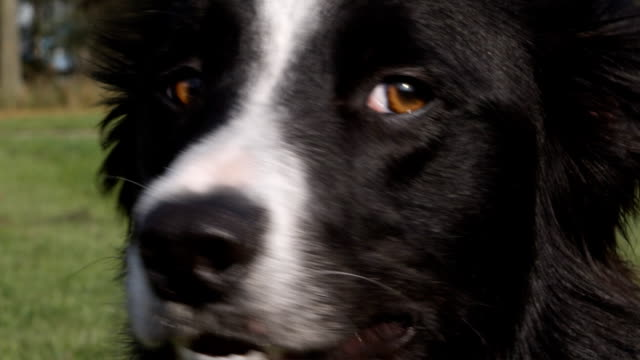 dog close up (1080p) - animal nose stock videos & royalty-free footage