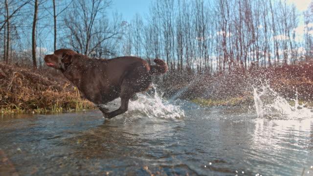 vídeos de stock e filmes b-roll de slo mo dog crossing a stream - cruzar