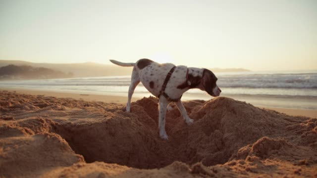 dog digging a hole in the sand - digging stock videos and b-roll footage