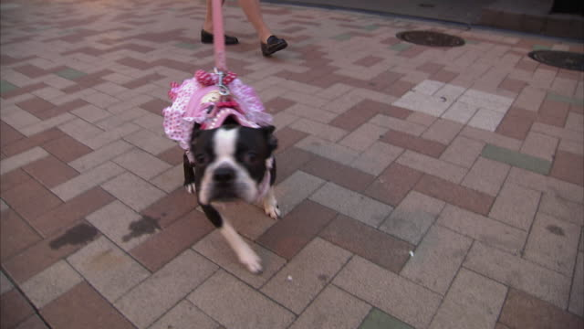 ws dog dressed in pink sniffing camera, tokyo, japan - pampered pets stock videos and b-roll footage