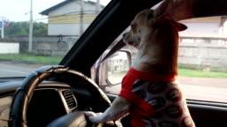 dog driving car