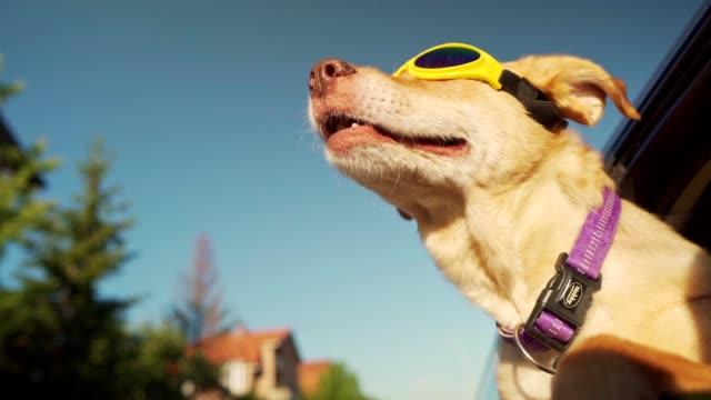 dog enjoying car ride - safety glasses stock videos & royalty-free footage