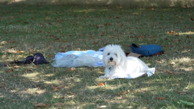 dog enjoys the shade in hyde park as the uk a summer heatwave on july 31, 2020 in london, england. - dog stock videos & royalty-free footage