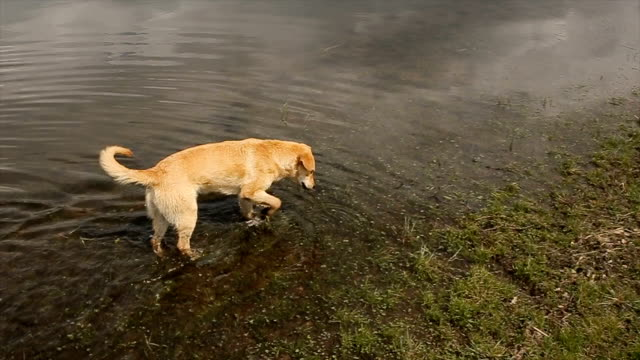 Dog explores the environment, walking in the lake