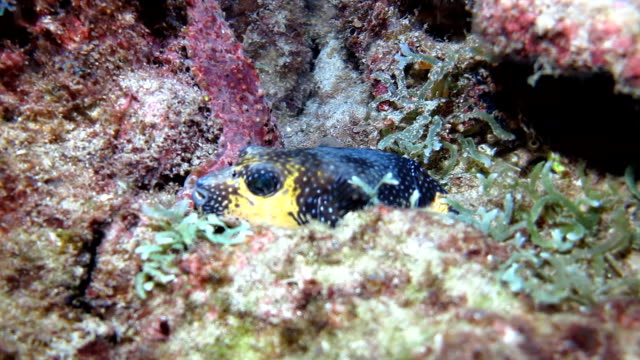stockvideo's en b-roll-footage met dog faced puffer fish resting on the coral reef at night, cocos island, costa rica. - vachtpatroon