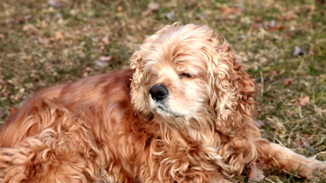 dog falls asleep on duty - spaniel stock videos and b-roll footage