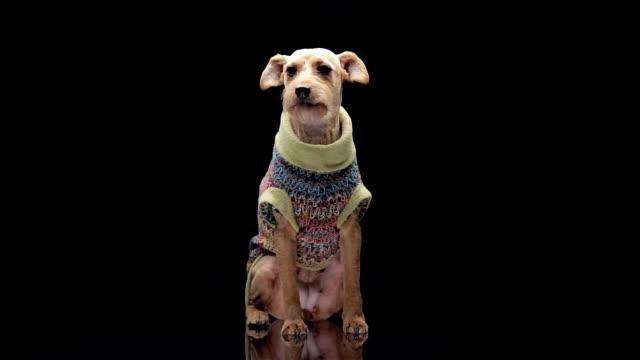 vídeos y material grabado en eventos de stock de perro de moda - camisas de vestir