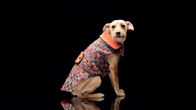 dog fashion - studio shot stock videos & royalty-free footage