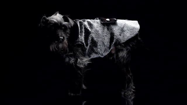 dog fashion - dog tail stock videos and b-roll footage