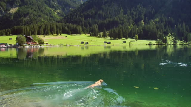 stockvideo's en b-roll-footage met ms, pan, dog fetching stick in lake, bavaria, germany - beieren