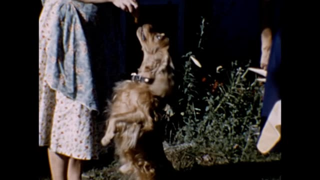 1959 dog getting treat at picnic - pleading stock videos & royalty-free footage
