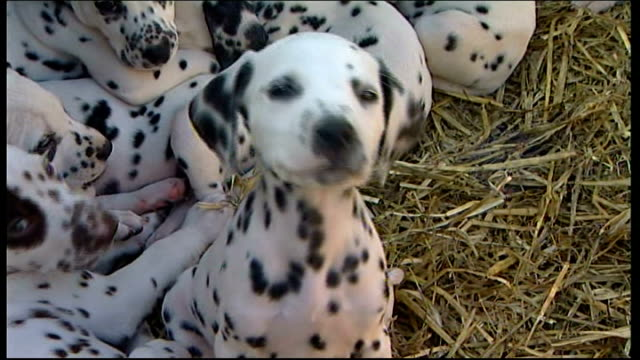 dog gives birth to litter of sixteen puppies dalmatian puppy tilt up other puppy elvin interview holding one of puppies sot they all have their own... - dalmatian dog stock videos and b-roll footage