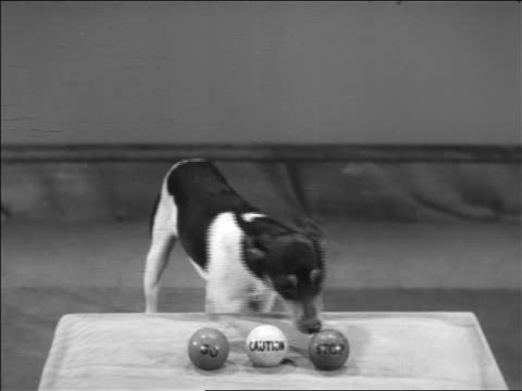 """B/W 1938 dog grabbing ball marked """"GO"""" with mouth + walking offscreen"""
