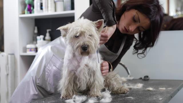 vídeos de stock, filmes e b-roll de cão de beleza - terrier