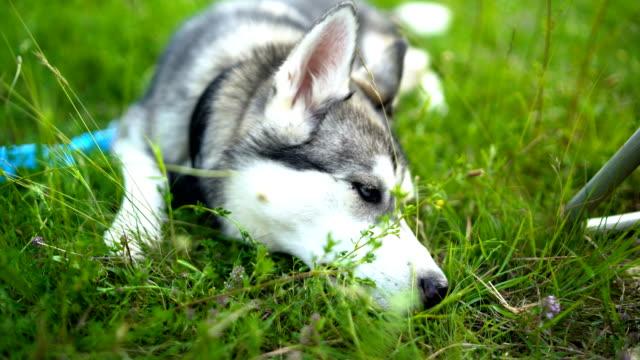 dog haski - blue dog stock videos & royalty-free footage