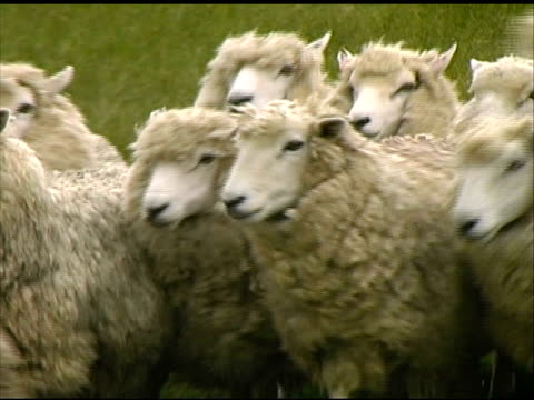 dog herds sheep - herd stock videos and b-roll footage