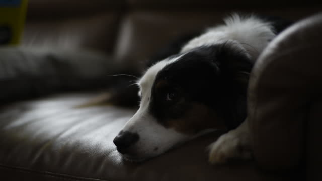 stockvideo's en b-roll-footage met dog illuminated by tv on couch in living room - australische herder