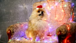 A dog in a New Year's dress. Pomeranian Spitz