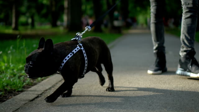 dog in a walk - pampered pets stock videos and b-roll footage