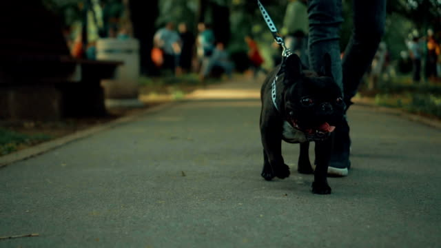 dog in a walk - french bulldog stock videos and b-roll footage