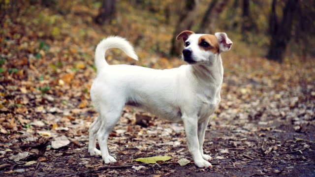 dog in autumn forest - jack russell terrier stock videos & royalty-free footage