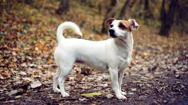 vidéos et rushes de chien en forêt d'automne - terrier jack russell