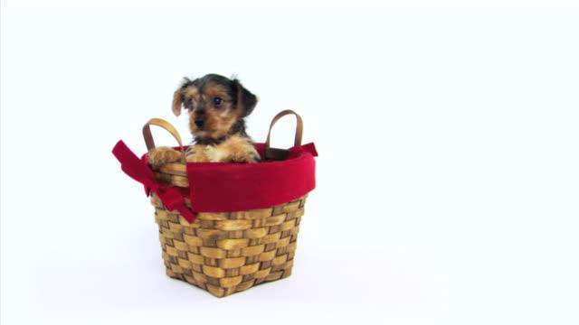 dog in basket - 籠点の映像素材/bロール