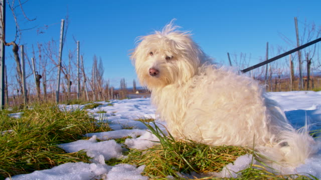 ms dog in snow covered vineyard - bichon frise stock videos and b-roll footage