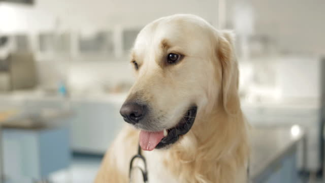 dog in the animal hospital - examination table stock videos & royalty-free footage