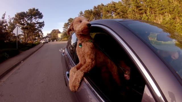 stockvideo's en b-roll-footage met hond is mijn co-pilot-slow motion autoruit - zorgeloos
