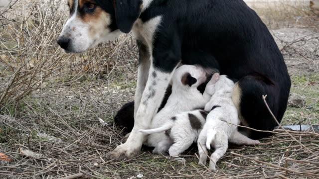 vídeos de stock, filmes e b-roll de tm cão amamentando as crias dos cães - enfermeira pediátrica